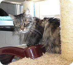 Mt Vernon, NY - Domestic Longhair. Meet Madeline a Cat for Adoption.