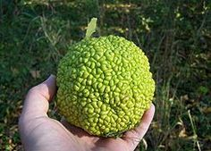 Place Osage Oranges (aka horse-apple or hedge-apple) under beds and in pantry to repel spiders and insects.   Scientific studies have found that extracts of Osage orange repel several insect species, in some studies just as well as the widely-used synthetic insecticide DEET.