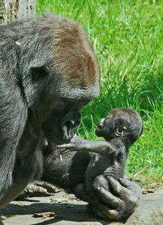 Gorilla mother examines her infant