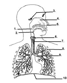 Worksheets Respiratory System Labeling Worksheet Answers learn the parts of respiratory system classroom activities diagram google search