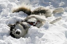 Husky in love with snow