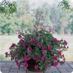 pink geranium, purple petunia, blue scaevola and tall paniculatum in container