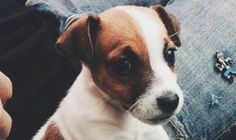 Are you looking for Jack Russell Terrier dog names? Here is a collection of funny and cute Jack Russell Terrier male/female dog name ideas. Jack Russell Dogs, Jack Russell Terrier, Female Dog Names, Terrier Dogs, Four Legged, Cuddling, Dog Breeds, Pets, Animals