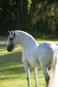 Paso Fino comes from Puerto Rico but several Caribbean states has a Paso breed of its own and they resemble more or less the best-known Paso Fino.