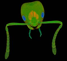Face Of An Ant! Charles Krebs, from Olympus BioScapes 2012 Digital Imaging Competition