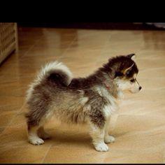 Pomsky! Pomeranian husky
