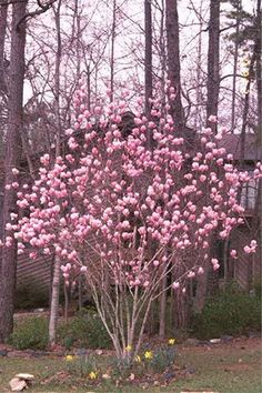 Tulip magnolia 'Nigra' Mature size: 10 feet tall and 8 feet wide. Ideal growing conditions: full sun, partial or dappled shade, moist soil Saucer Magnolia Tree, Magnolia Trees, Trees And Shrubs, Flowering Trees, Japanese Magnolia Tree, Jane Magnolia, Trees For Front Yard, Fast Growing Trees, Tree Pruning