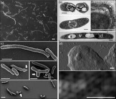 Gemmatimonas phototrophica  [000.003.504]
