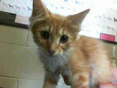 San Bernardino Shelter Kitties This CAT - ID#A447435 MUST EXIT JUNE 11  I am a female, orange and white Domestic Shorthair.  The shelter staff think I am about 3 months old.  I have been at the shelter since Jun 04, 2013. — at San Bernardino City Shelter - Phone: 909-384-1304, Address: 333 Chandler Pl., San Bernardino, CA 92408.
