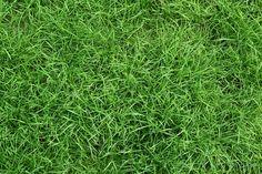 Какая трава иван чай