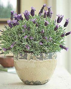 Cat Safe Plants, Cat Plants, Garden Plants, Indoor Plants, House Plants, Inside Plants, Indoor Gardening, Gardening Tips, Indoor Lavender Plant