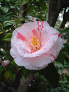 Camellia japonica 'Kashoku' (Japan, before 1982)