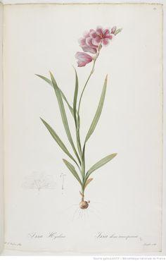Les Liliacées. Tome 2 / , par P.-J. Redouté  Auteur :  Redouté, Pierre-Joseph 1802