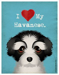 I Love My Havanese   I Heart My Havanese  I by DogsIncorporated. There are tons of cute Havanese pics on the web..maybe I can get Cocoa to pose for one!