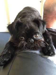 Bambi Brussels Griffon - The black one's are cute too!