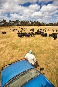 grass fed beef - King Island - australia - photo Bill Bachman Kings Island, Australia Photos, Largest Countries, Tasmania, Continents, East Coast, Grass, Places To Go, Beef