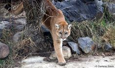 cougar photos | Cougars (Puma concolor) in Manitoba. Mountain lions on the prairies.