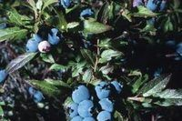 Homemade Fertilizer for Blueberries | eHow
