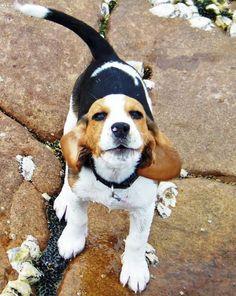 The Daily Puppy Kiara the Beagle