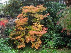 Enkianthus companulatus fall color