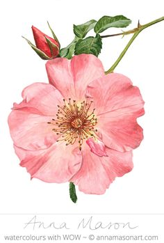 "'Rose Summer Wine' © 2016 ~ annamasonart.com ~  23 x 31 cm (9 x 12"")"