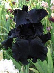 goth iris for Theda's room garden