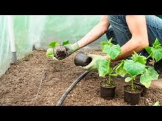 Cięcie, nawożenie, sadzenie, rozmnażanie - kwiecień należy poświęcić zabiegom, których wykonanie wpłynie na jakość kwitnienia i owocowania roślin podczas sezonu. Oto najważniejsze kwietniowe zadania! Chili, Diy And Crafts, Make It Yourself, Plants, Youtube, Gardening, Red Peppers, Chile, Lawn And Garden