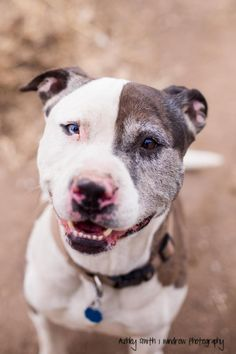 7/23/16 SL 6/12/16 Could he have Chimera!!! Meet Vinny, a Petfinder adoptable Pit Bull Terrier Dog | Manhattan, KS | Meet sweet Vinny! Vinny is a 5 year old, 80 lb pit bull/catahoula. One of his eyes is half blue...