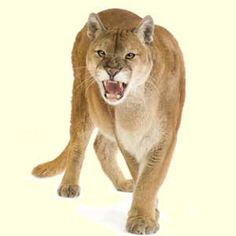 crane cougars personals View the home page for the crane medical cougars freshman basketball team on maxpreps.