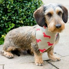 wire haired dachshund wearing a doxie scarf!