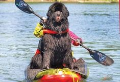 Newfoundland dog takes a kayak expedition.....I wonder if I can get Ella to do this?