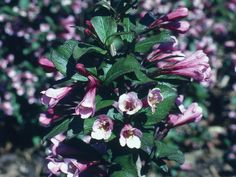 The showy blooms of weigela ( Weigela florida ) come in pink, red, yellow, lavender or white, depending on cultivar, and appear in mid to late spring. Some cultivars feature variegated foliage; other types have purplish or maroon leaves. This deciduous shrub, native to northern China and Korea, can grow as tall as 9 feet and can spread even wider, but compact varieties are available. It works best in borders. Weigela thrives in full sun and also attracts hummingbirds.