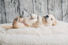 """Labrador Retriever Pup ~ Classic """"Baby Pup"""" Look Labrador Retriever, Labrador Puppies, Retriever Puppies, Corgi Puppies, Yellow Lab Puppies, Puppy Stages, Yorkshire Terrier Puppies, Guide Dog, Yorkie Puppy"""