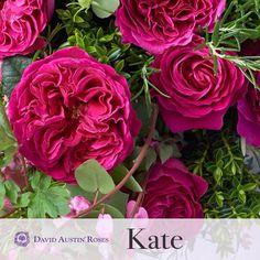 David Austin roses KATE...