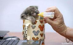 koala mimado, el animal silvestre fue rescatado y ahora es cuidado en una oficina.