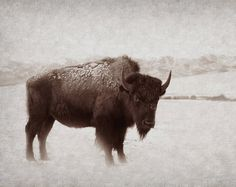 Animal Photography Buffalo Bison Animal by lucysnowephotography