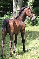 Bay Lippizaner foal