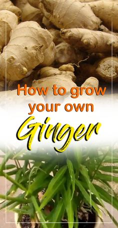 urban gardening - How to grow Ginger in a pot Growing ginger root Harvest Ginger root NatureBring Planting Ginger Root, Grow Ginger From Root, Growing Ginger Indoors, How To Plant Ginger, Recipes With Ginger Root, How To Plant Garlic, Ginger Plant Flower, Grow Garlic, Growing Broccoli