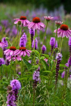 Purple Coneflower and Prairie Gayfeathers (Echinacea purpurea and Liatris spicata) - tuinieren. Wild Flowers, Beautiful Flowers, Garden Plants, Shade Garden, Purple Garden, English Garden Design, Prairie Garden, Magic Garden, Plant Design