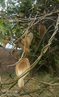 BEAUTIFUL seedpod captured by © ~ Renier Botha  In Koppies Town... Freestate. ..South Africa