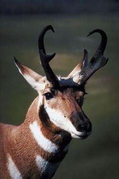 When Do Antelopes Rut? | Animals - PawNation