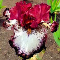 50pcs/bag mixed color Iris Flower Seeds,Rare Flower Seeds bearded iris seeds, Nature plants Orchid flower DIY for Garden