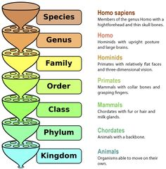 Linnaean Classification System: Classification of the Human Species.