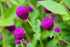 Αμάρανθος: Πώς μαγειρεύεται το λουλούδι που δεν μαραίνεται ποτέ; Ο αμάρανθος έχει καταγωγή από τη Νότια Αμερική αλλά πήρε την...