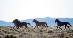 BLM uses any excuse to fast track the roundups of wild horses and burros | Straight from the Horse's Heart