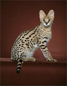 Photos & Videos of Savannah Cats and Kittens | #MostBeautifulPages