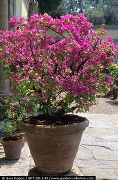 I have a couple of these dwarf crepe myrtles and really are beautiful