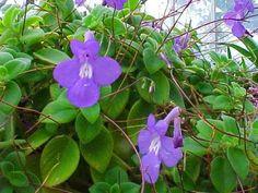 Kapská prvosienka - streptocarpus-saxorus