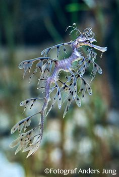 leafy sea dragon imagine without the water - leafy sea dragons just float through the air (like marine forest idea with all the floating marine animals in air..?)