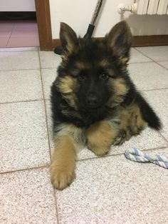 Meet Kora, a cute fluffy German Shepherd puppy                                                                                                                                                                                 More